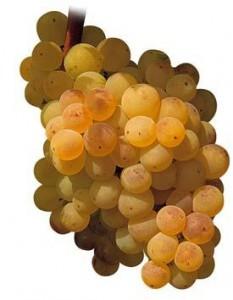 El tesoro. Un racimo de uvas Xarel·lo