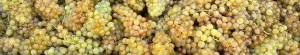 uvas ecolígicas